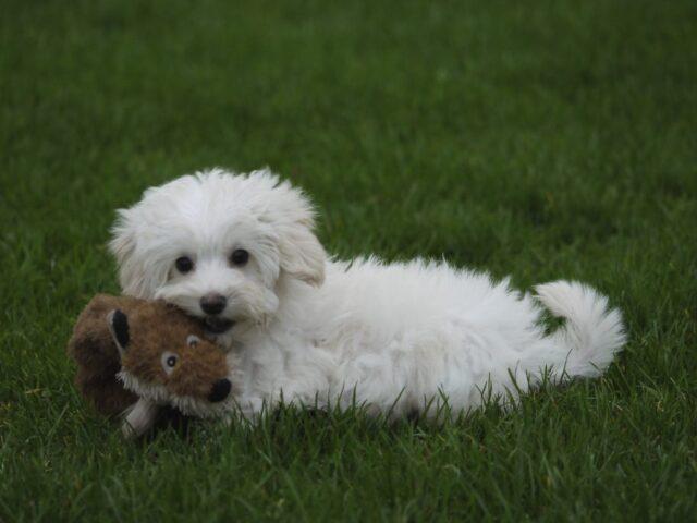white Australian cobberdog puppy