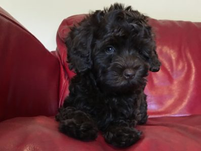 Miniature Black Labradoodle Puppy - Australian Labradoodle Cobberdog