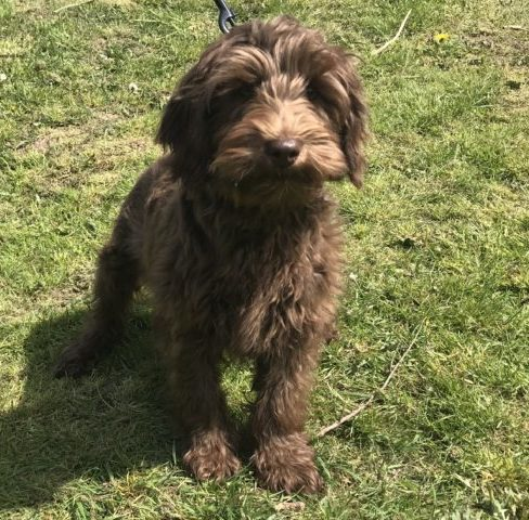 Small Medium Chocolate Australian Cobberdog - Labradoodle