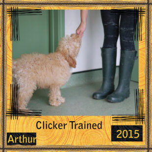 Arthur is a red Labradoodle. He is a 100% Australian Labradoodle puppy, also known as Australian Cobberdog.