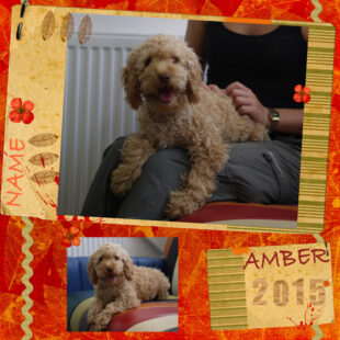 Amber is a red mini Cobberdog with an adorable curly fleece coat. Her breed is Australian Labradoodle, also known as Australian Cobberdog.