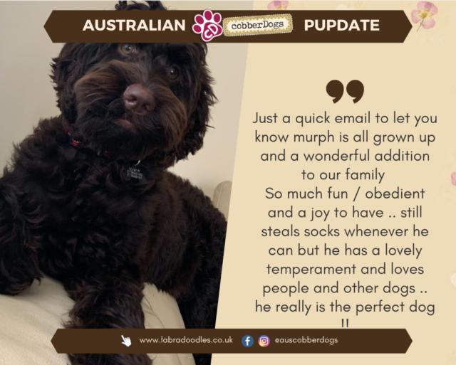 family pet labradoodle testimonial