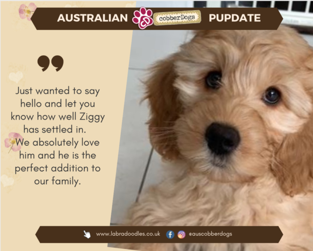 labradoodle puppy testimonial doodle dogs