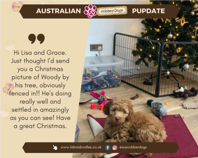 apricot labradoodle testimonial doodle dogs