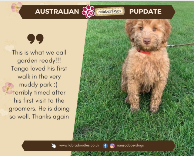 red labradoodle testimonial doodle dogs