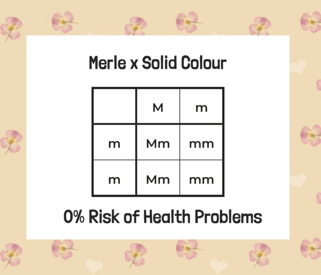 merle and solid colour labradoodle genes diagram