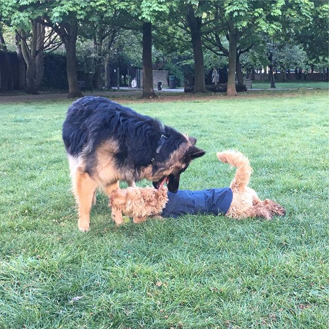 Introducing a new puppy to a resident dog