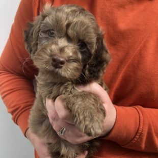 Adorable Chocolate Labradoodle Puppy for Sale UK