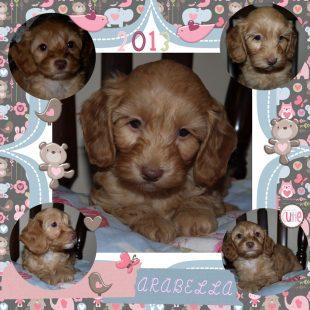 Arabella is a 100% Australian Service Dog
