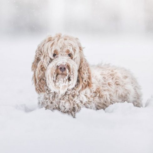 Apricot Red Labradoodle in Snow - Cobberdog