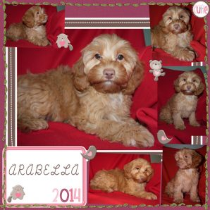 "Arabella is a 100% Australian Service Dog ""ASD"" type of Australian Labradoodle"