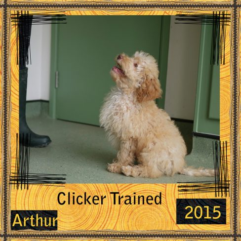 Arthur is a apricot Labradoodle. He is a 100% Australian Labradoodle puppy, also known as Australian Cobberdog.