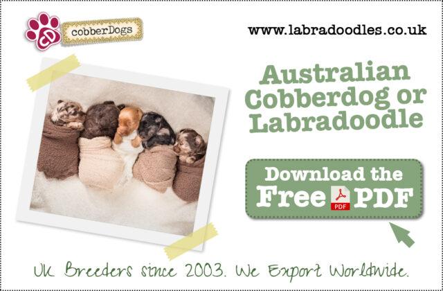 Australian Cobberdog and Australian Labradoodle Breed Information
