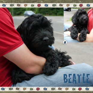 Beatle is a medium black fleece coated ASD Australian Labradoodle