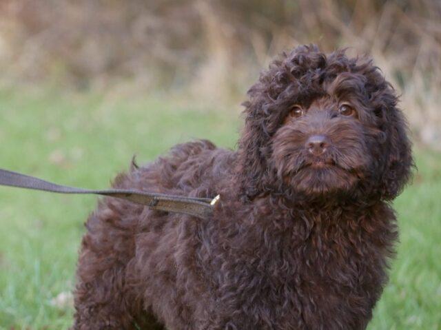 large mini Australian labradoodle puppy