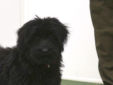 Black Australian Cobberdog Puppy