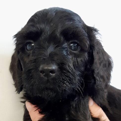 Black Cobberdog Puppy - Preston
