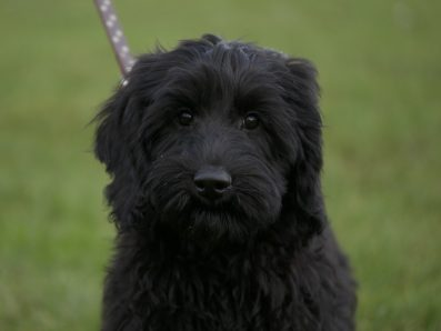 Black Labradoodle Puppy from doodledogs in UK