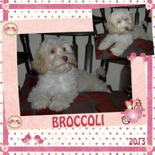 Brocolli - White Australian Labradoodle with Apricot Ears