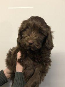 Brown Cobberdog Puppy - Jasmine