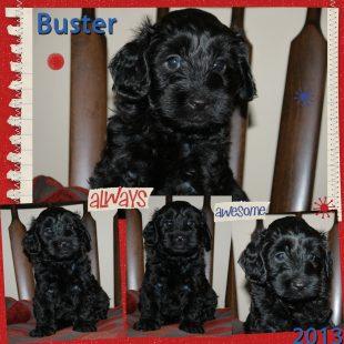 Buster -Black Australian Labradoodle
