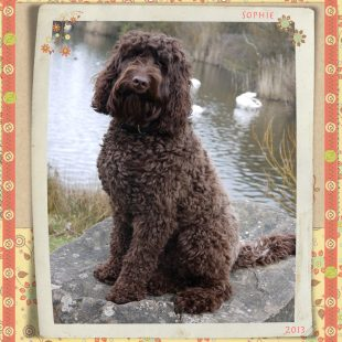 Chocolate Labradoodle Puppy from DoodleDogs UK - Fullgrown Sophie