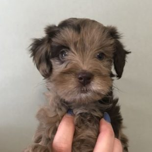 Chocolate Merle Labradoodle Puppy for Sale