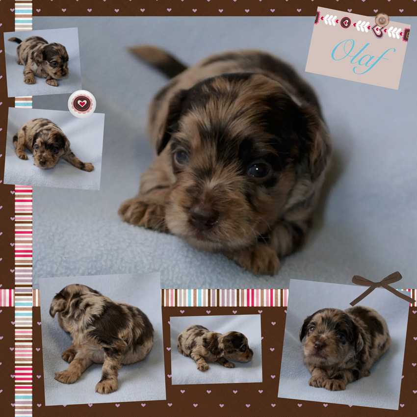 Chocolate Merle Labradoodle Puppy doodledogs