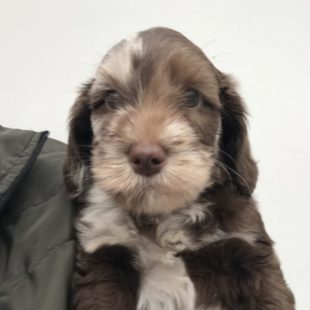 Chocolate Merle Labraoodoodle Puppy for Sale UK