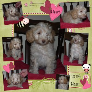 Cream Apricot Australian Labradoodle Puppy UK