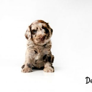 Chocolate Merle Labradoodle Puppy