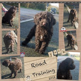 Chocolate Australian Labradoodle Puppy' Road Training