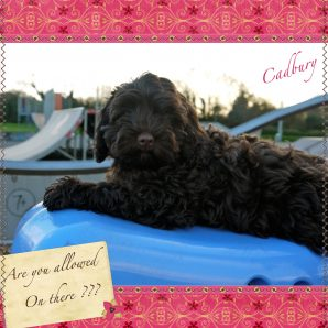 "Cadbury is a 100% Australian Service Dog ""ASD"" type of Australian Labradoodle"