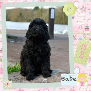 "Babe is a 100% Australian Service Dog ""ASD"" type of Australian Labradoodle"