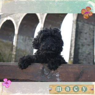 Macy is a 100% Australian Service Dog