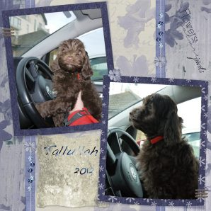 Chocolate Australian Labradoodle Puppy driving a car