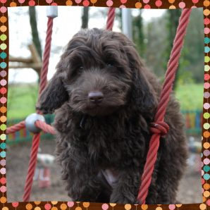 "Tabitha is a 100% Australian Service Dog ""ASD"" type of Australian Labradoodle"