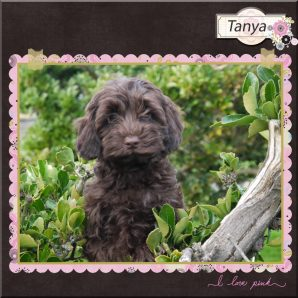 "Tanya is a 100% Australian Service Dog ""ASD"" type of Australian Labradoodle"