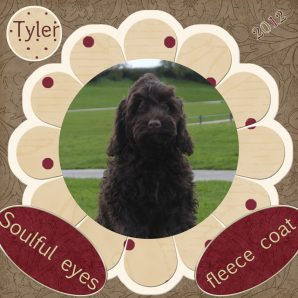 "Tyler is a 100% Australian Service Dog ""ASD"" type of Australian Labradoodle"