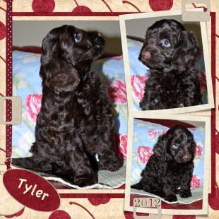 Tyler is a 100% Australian Service Dog