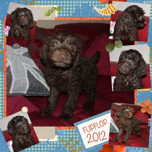 "Flipflop is a 100% Australian Service Dog ""ASD"" type of Australian Labradoodle"