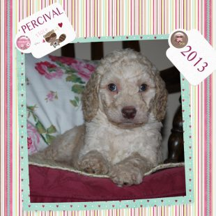 Cream Australian Labradoodle Puppy