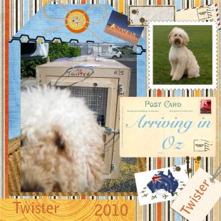 Cream Apricot Australian Labradoodle Puppy UK - Twister