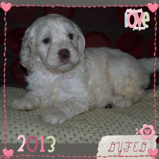 White Australian Labradoodle Puppy from DoodleDogs UK