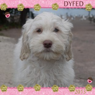Dyfed is a 100% Australian Service Dog