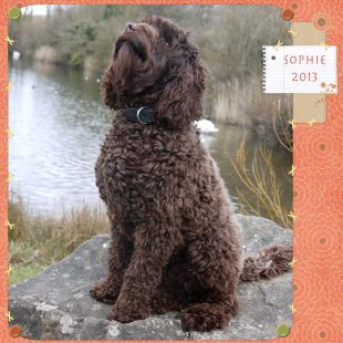 Fullgrown Sophie - Chocolate Australian Labradoodle Puppy with A Curly Fleece Coat