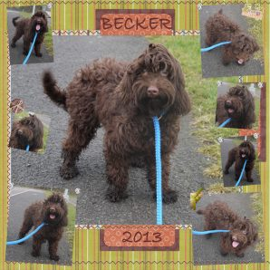 Chocolate Australian Labradoodle Puppy from DoodleDogs UK