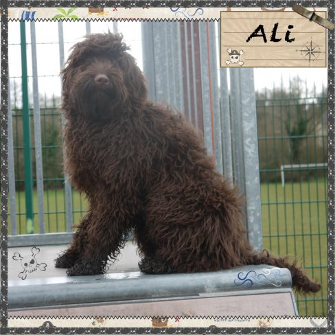 Small Medium Chocolate Australian Labradoodle - Ali