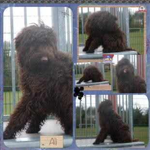 Ali is a MALE chocolate small medium ASD Australian Labradoodle who has a fleece coat
