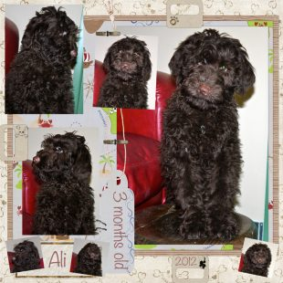Chocolate Australian Labradoodle Puppy from DoodleDogs UK - Ali